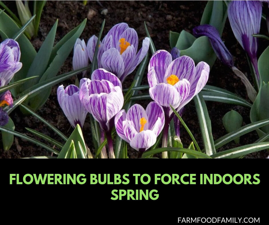 Flowering bulbs to force indoors spring