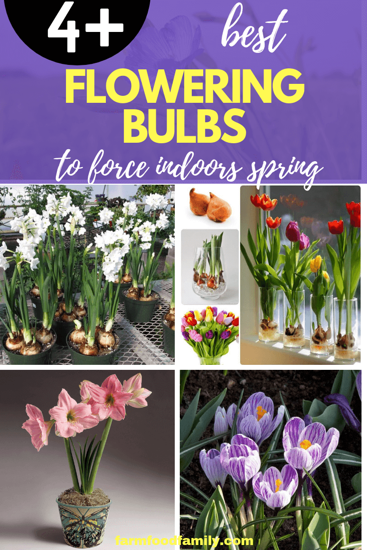 Blooming Bulb Plants Forced for Winter Flowers