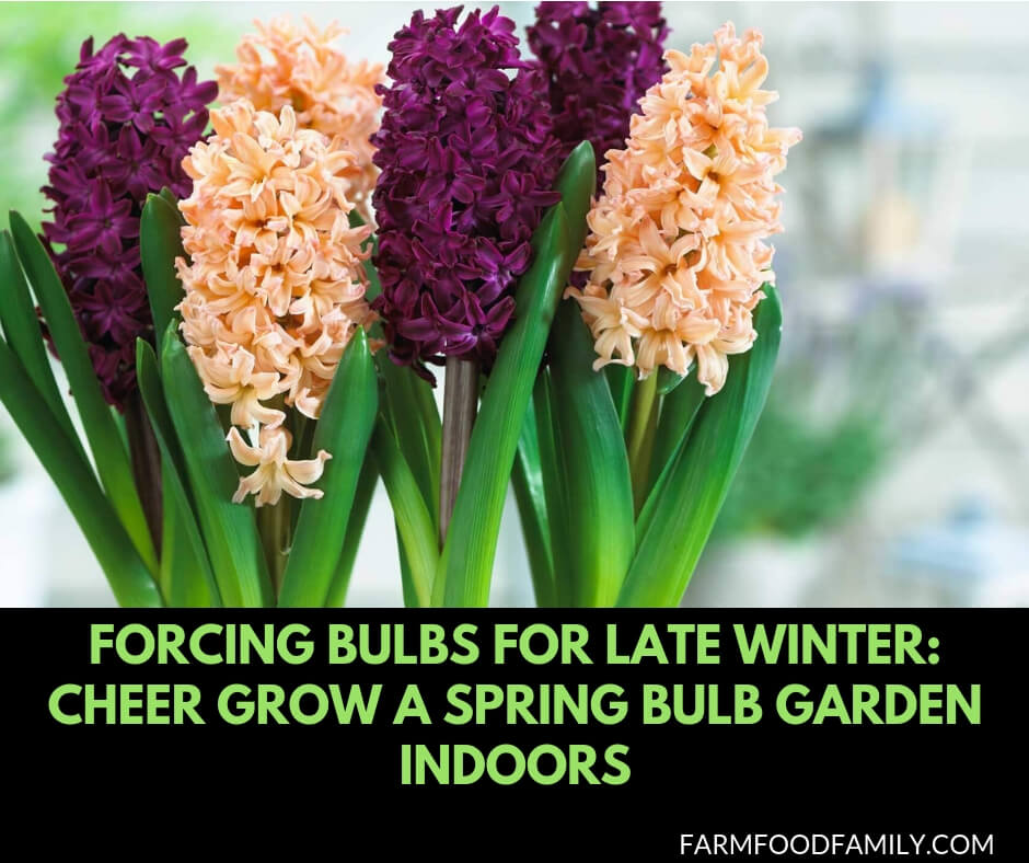 Forcing Bulbs for Late Winter: Cheer Grow a Spring Bulb Garden Indoors