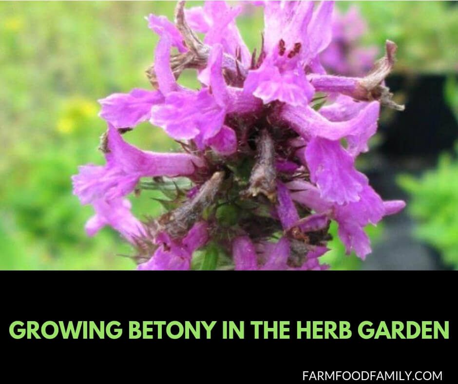 Growing Betony in the herb garden