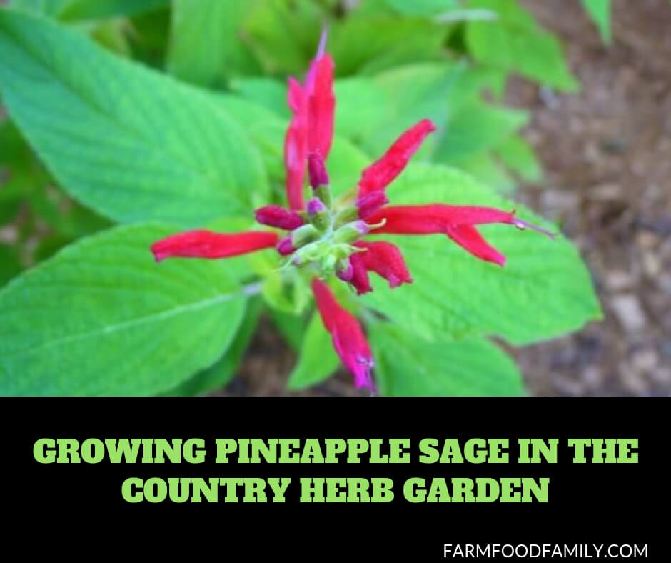 Growing Pineapple Sage in the country herb garden