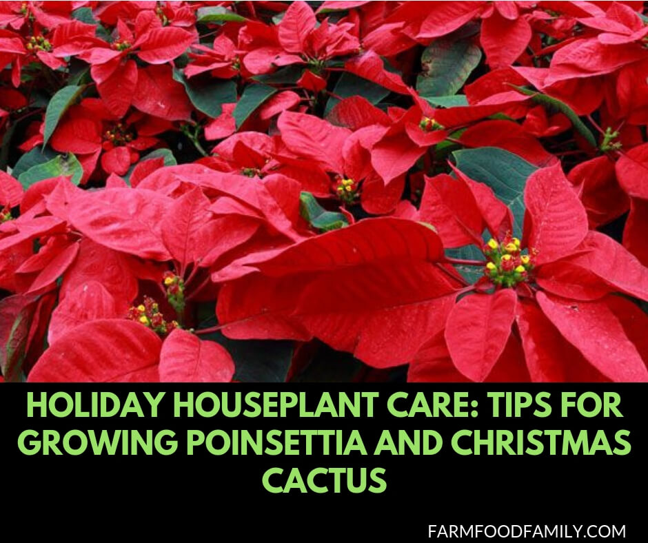 Holiday houseplant care: Tips for growing poinsettia and christmas cactus