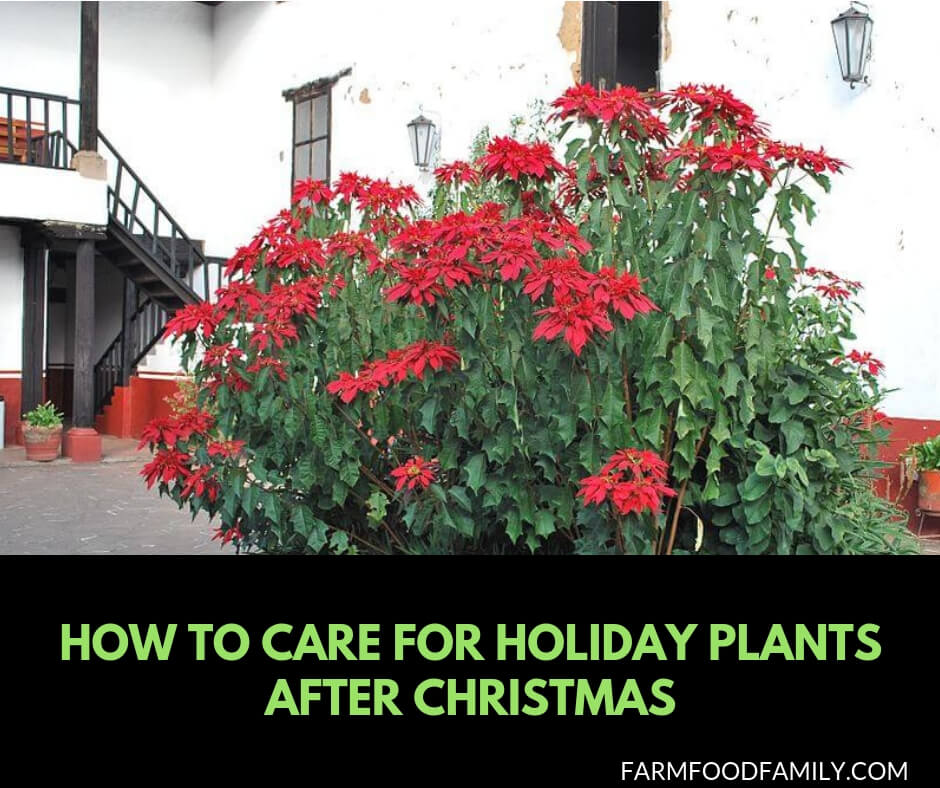 How to care for Holiday plants after Christmas