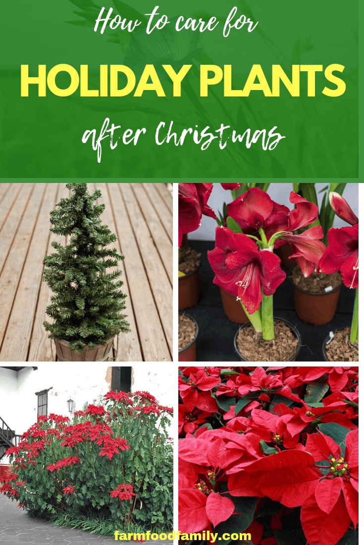 How to Care for Holiday Plants after Christmas: Tips for Growing Amaryllis Bulbs, Poinsettia, Cactus After Holidays