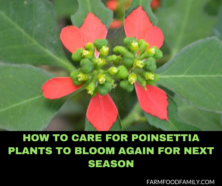 How to Care for Poinsettia Plants to Bloom Again for Next Season