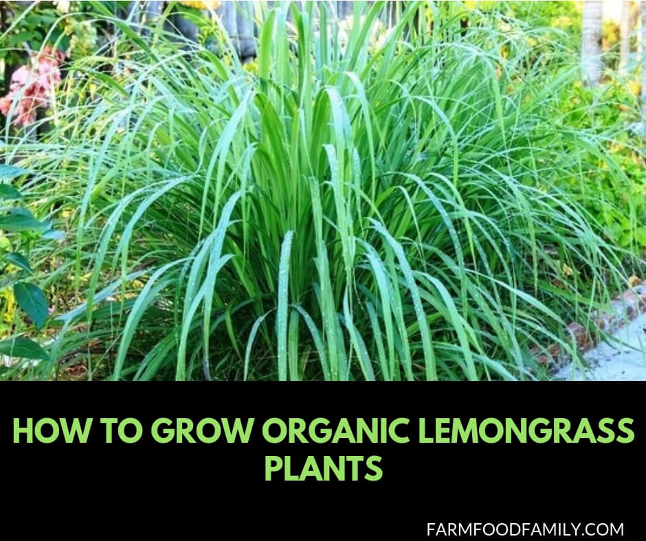 How to grow organic lemongrass plants