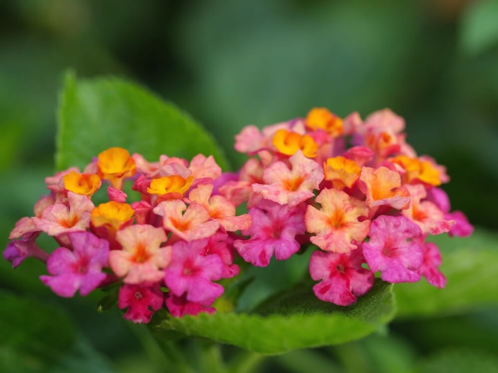 Lantana | Try Fragrant Perennial Verbenas for Attracting Bees and Butterflies