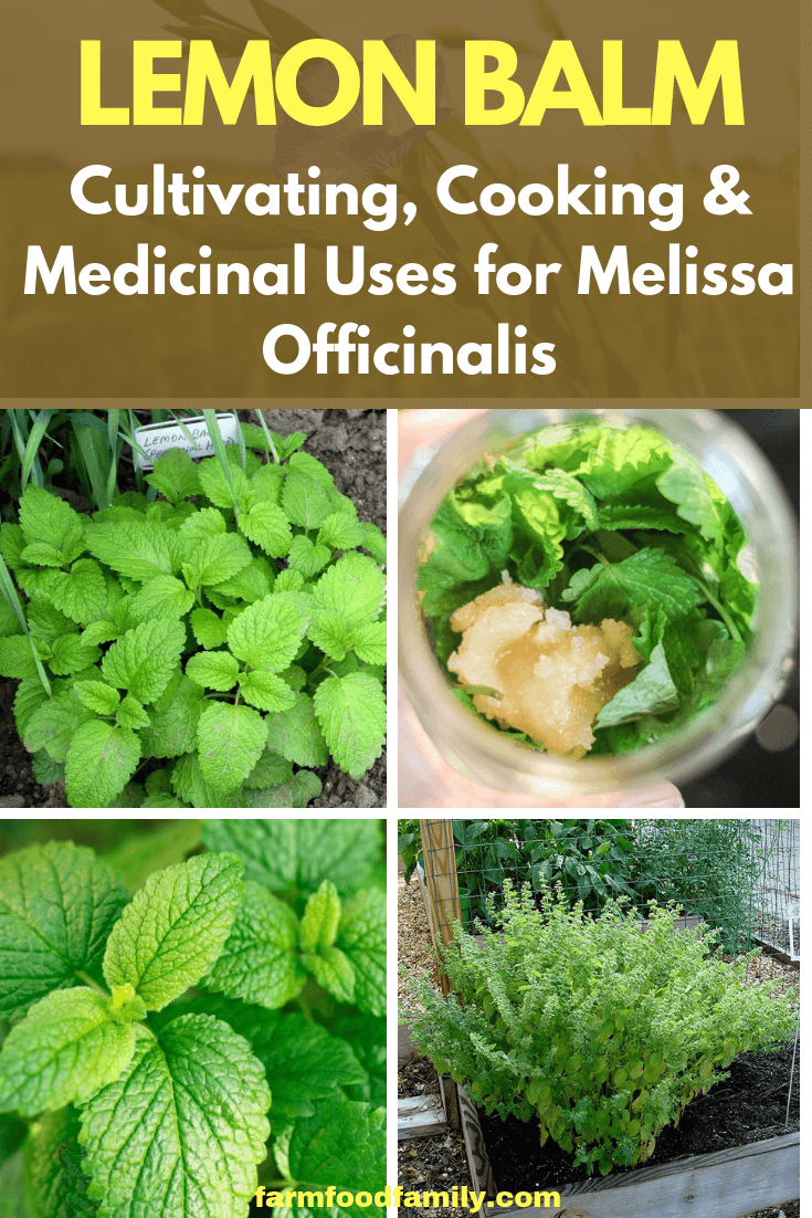 Lemon Balm: Cultivating, Cooking & Medicinal Uses for Melissa Officinalis