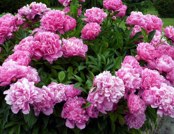 Peonies | Perennial Flowers All Season: Perennial Garden Design Guide for Blooms in Spring Summer and Fall