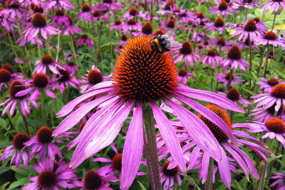 purple coneflower (Echinacea purpurea) | Perennial Flowers All Season: Perennial Garden Design Guide for Blooms in Spring Summer and Fall