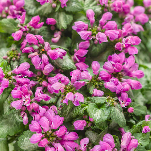 Lamium | Perennial Flowers All Season: Perennial Garden Design Guide for Blooms in Spring Summer and Fall
