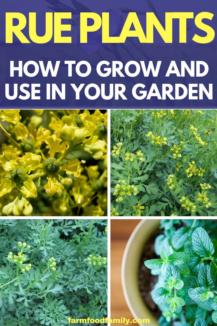 Rue Herb: How to grow and care for Rue plants