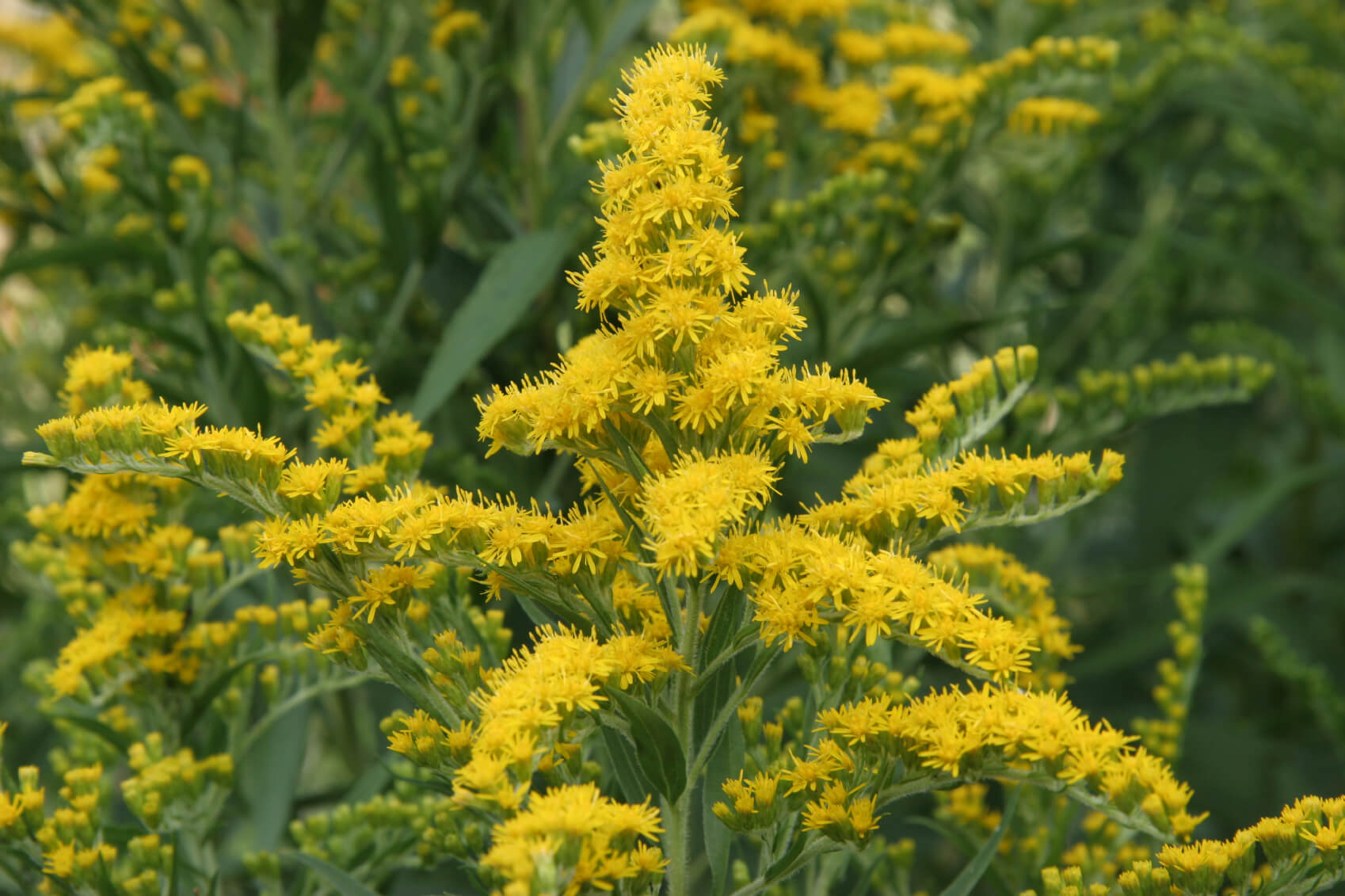 Solidago | Fall Perennials for a Splendid Array of Flowers