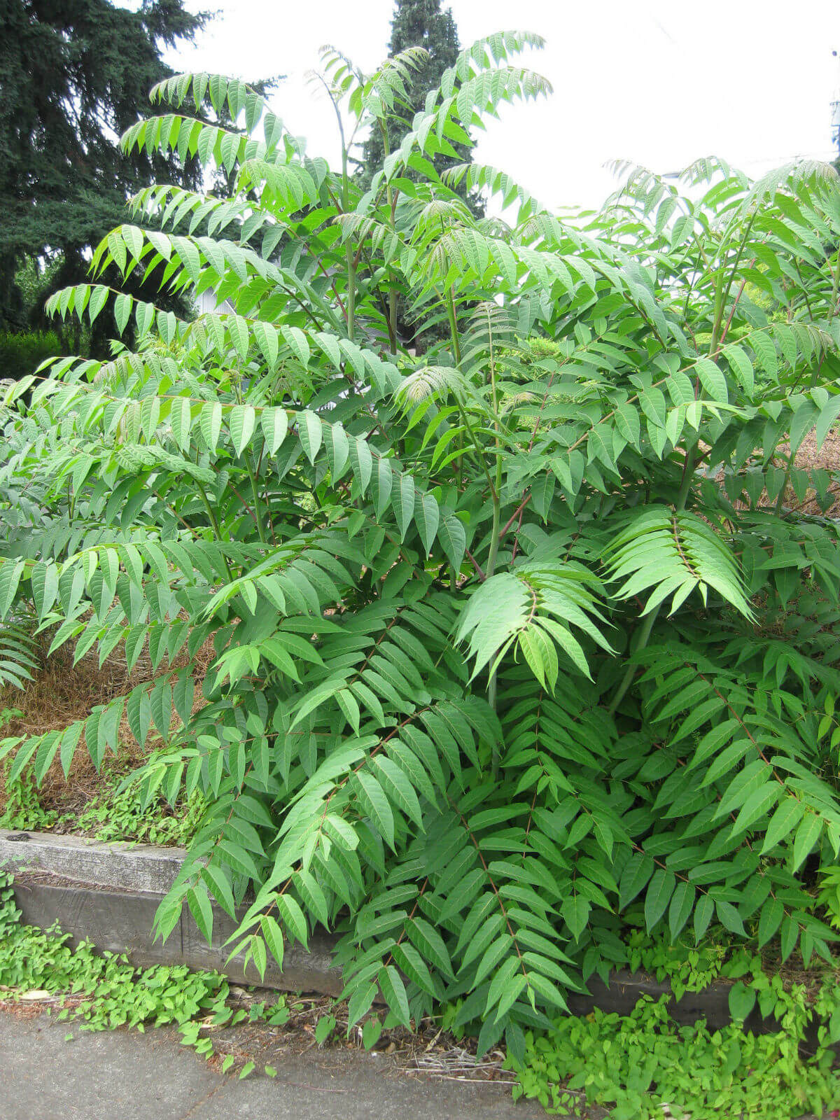 Tree-of-Heaven(Ailanthus altissima) | Top 10 Exotic Invasive Trees in theU.S - FarmFoodFamily.com