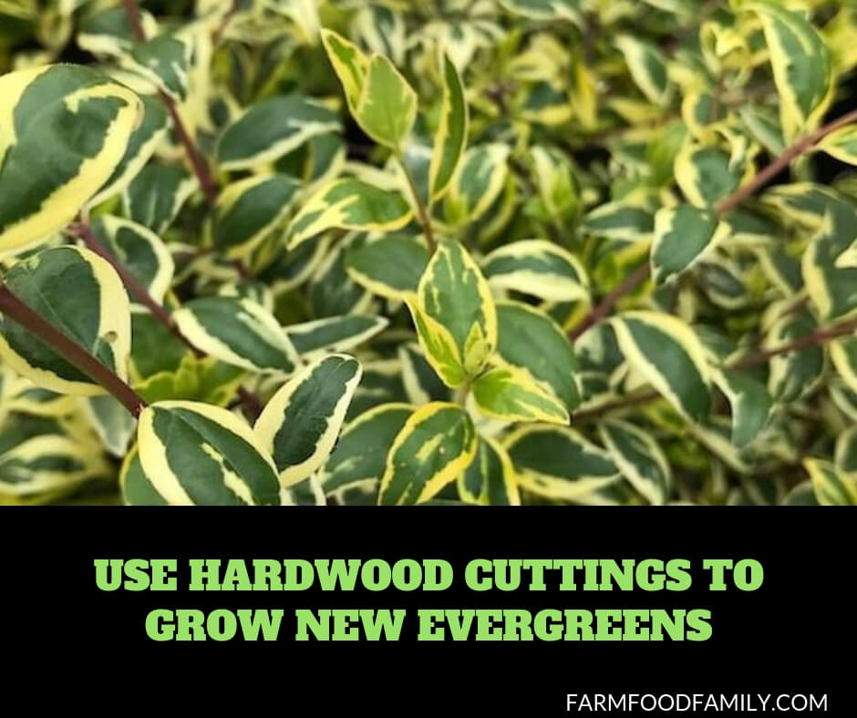 Use Hardwood Cuttings to Grow New Evergreens