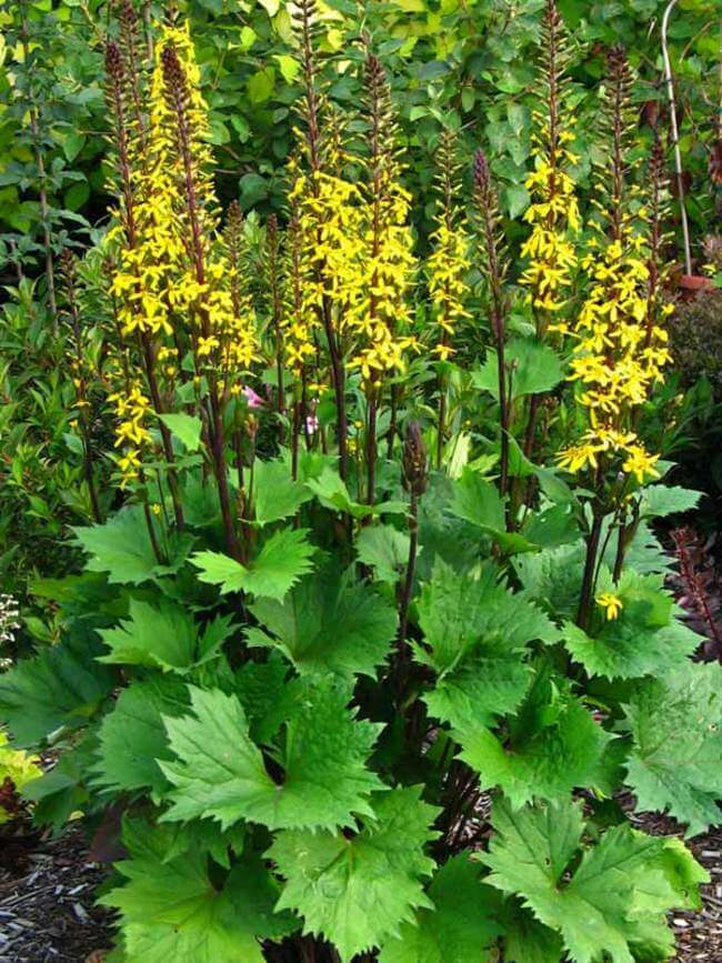 Ligularia for Bold Color in Shady Gardens
