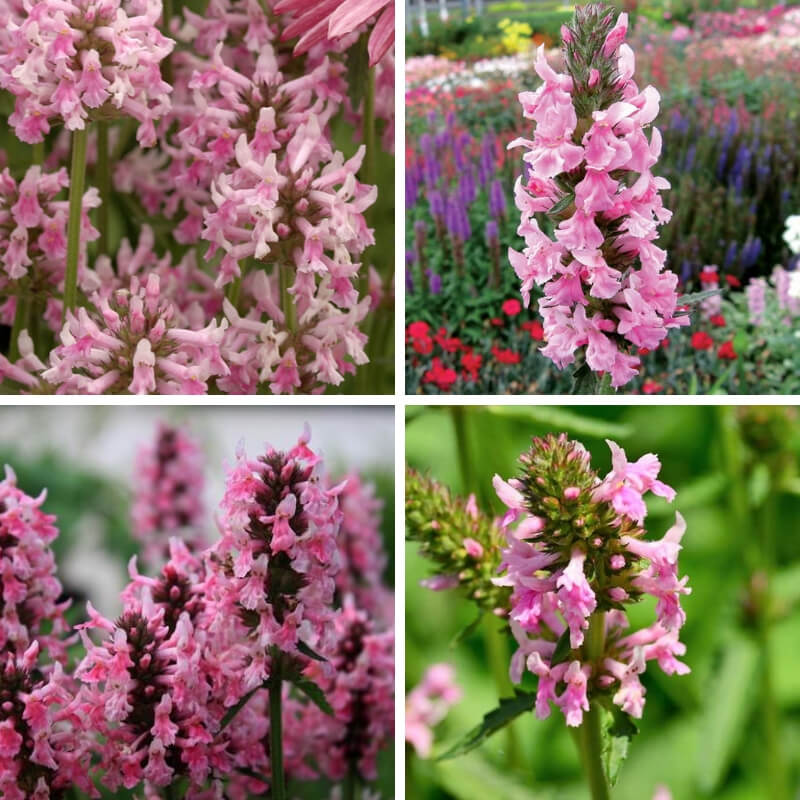 Stachys officinalisPink Cotton Candy