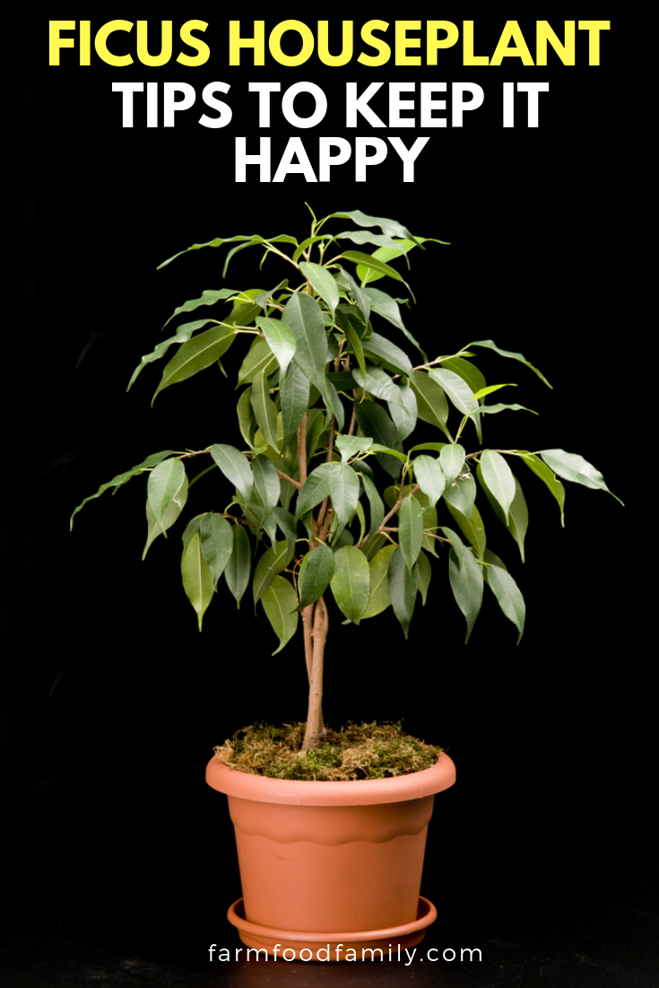 Ficus houseplants: all you need to know