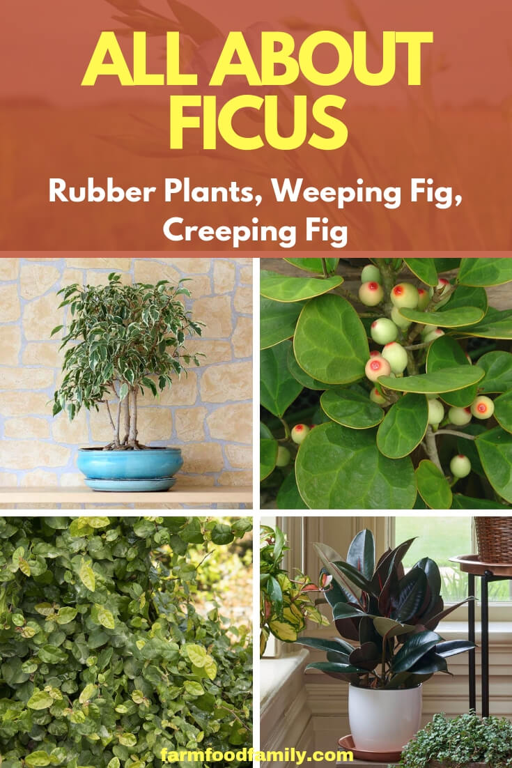All About Ficus plants: Rubber Plants, Weeping Fig, Creeping Fig
