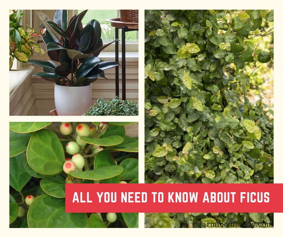All About Ficus: Rubber Plants, Weeping Fig, Creeping Fig