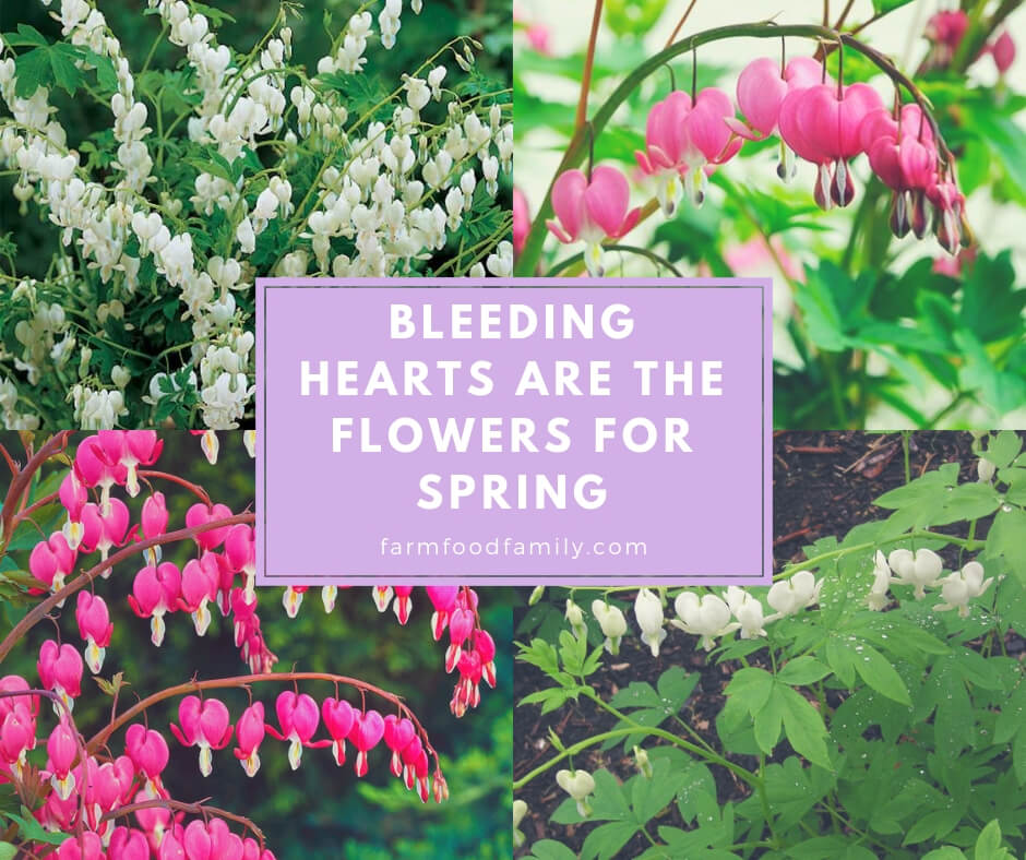 Bleeding Hearts are the Flowers for Spring