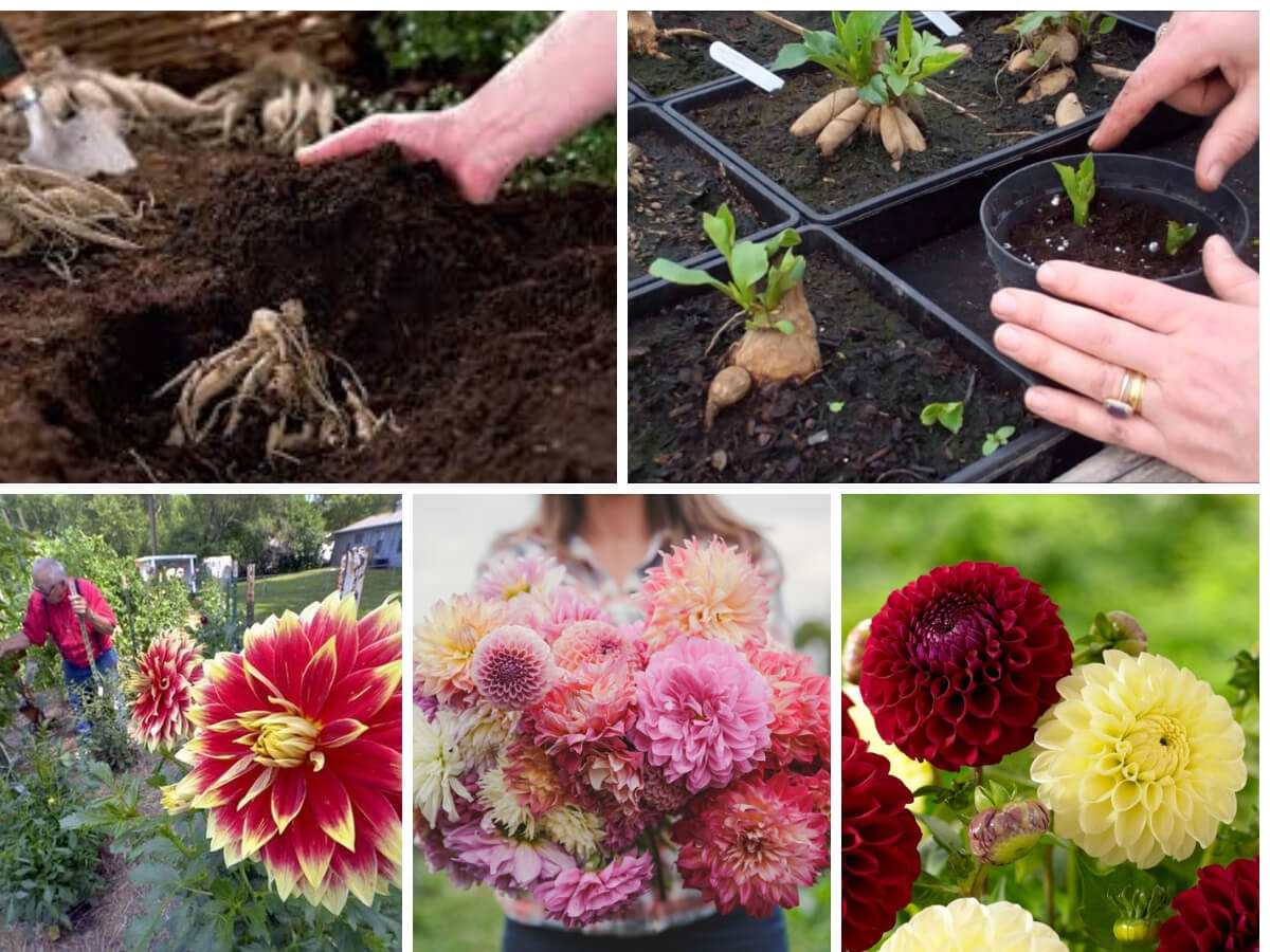 Care and Cultivation of Dahlias for Your Garden