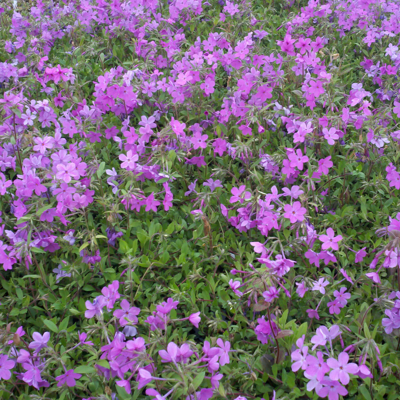 creeping phlox - Evergreen ground cover