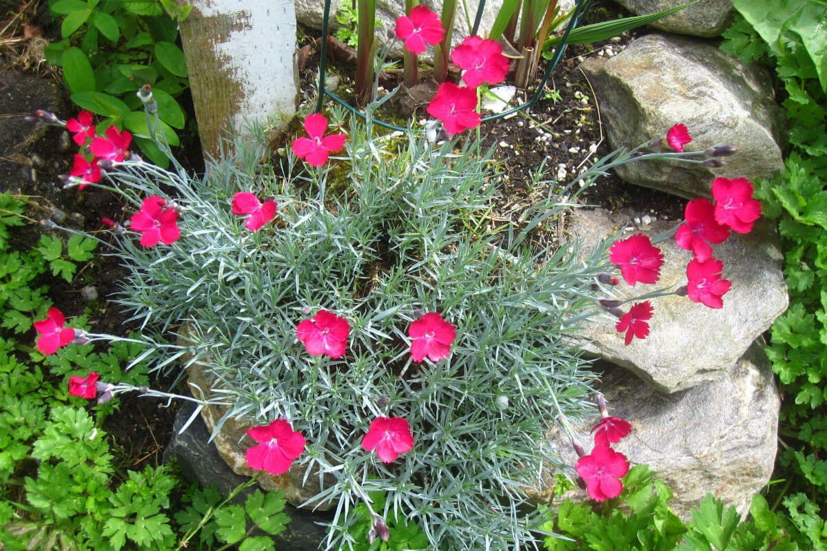 Dianthus 'Wicked Witch' (Dianthus gratianopolitanus'Wicked Witch')