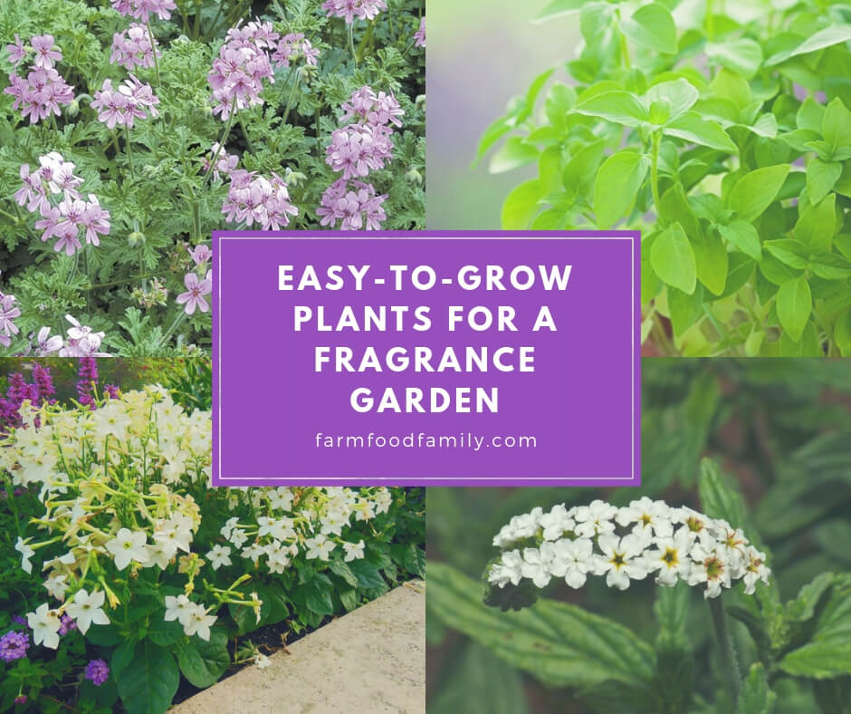 Fragrant Annual Plants: Easy-to-Grow Plants for a Fragrance Garden