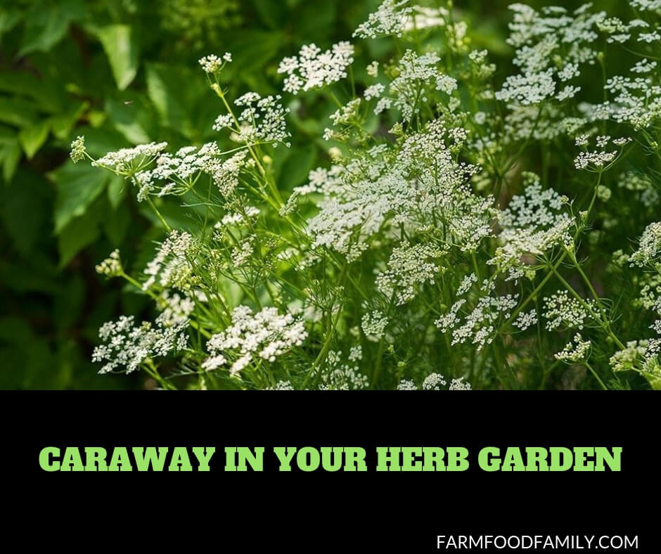 Caraway Plants in Your Herb Garden
