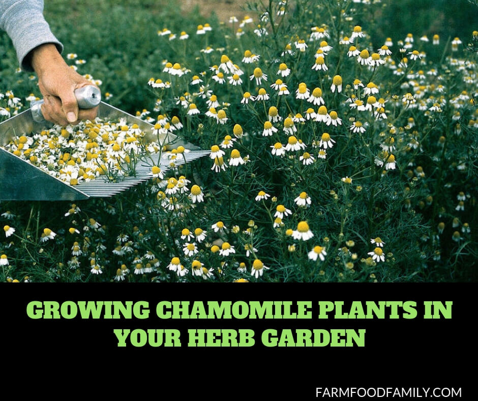 Growing Chamomile herbs