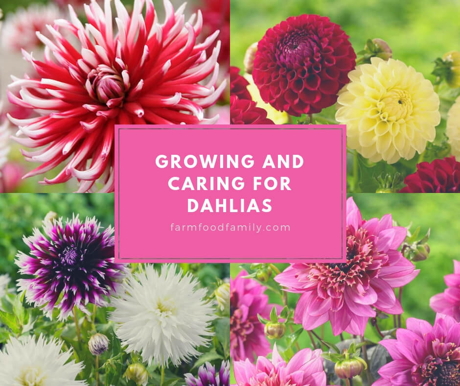 Growing and Caring for Dahlia Flowers: The Definitive Guide