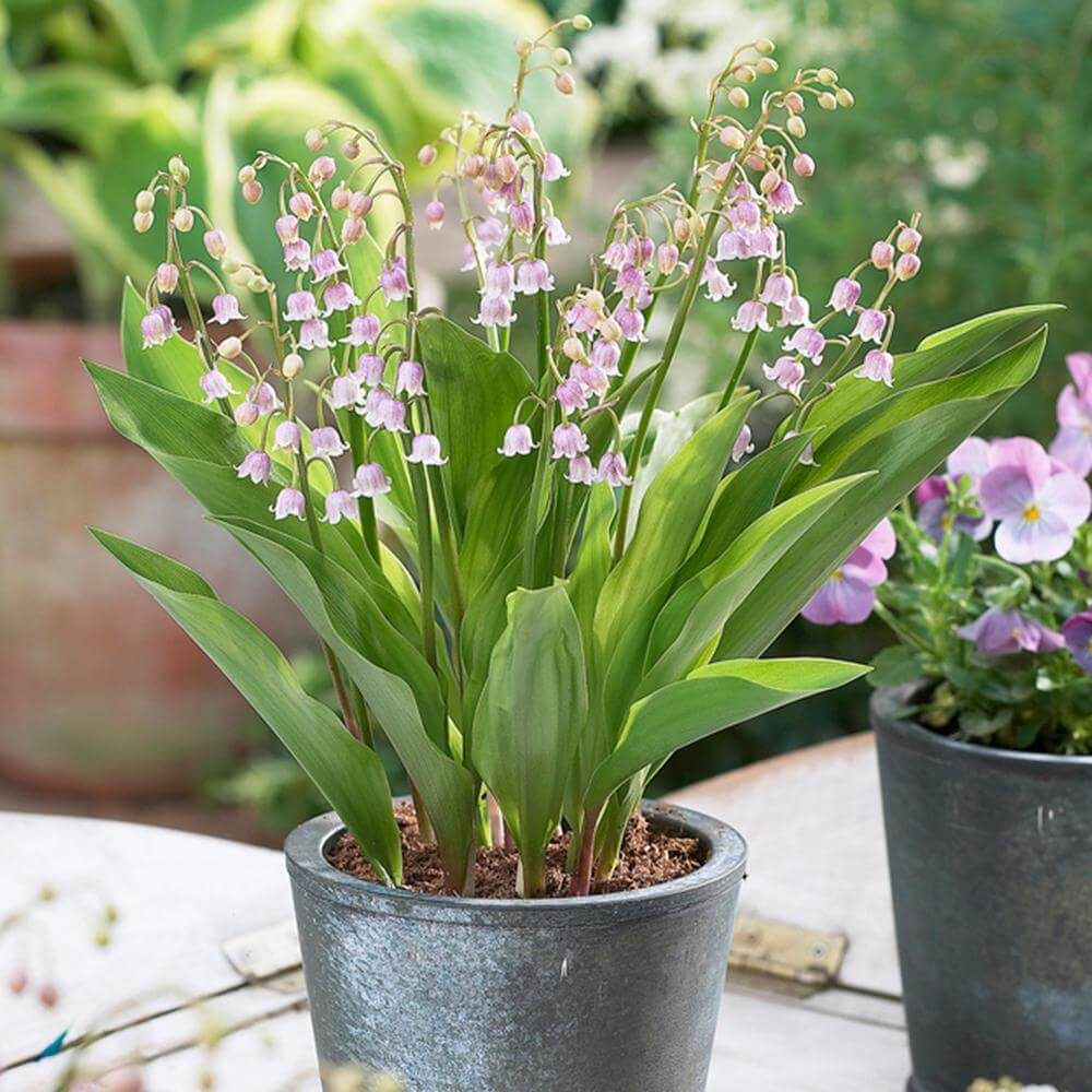 Lily-of-the-Valley (Convallaria majalis) Flowering Bulbs for Shade Gardens