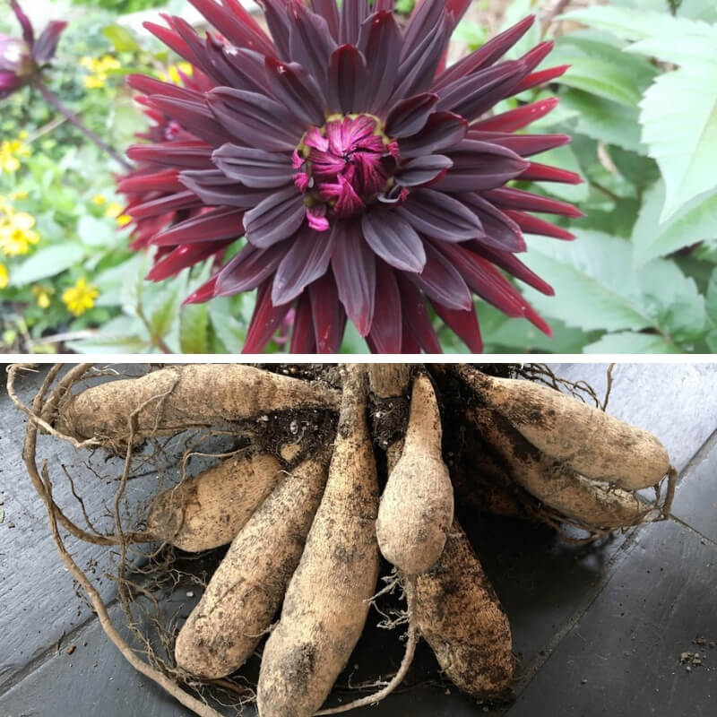 How to overwinter dahlias