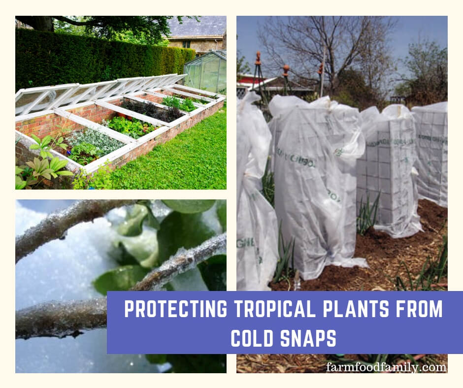 Protecting Tropical Plants from Cold Snaps