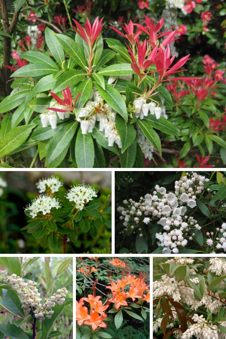 Rhododendron, Azalea and Laurel Plants are Poisonous for Small Animals