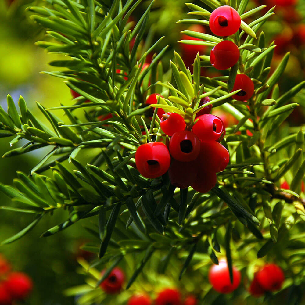 Yew Plants Toxic to Dogs and Cats