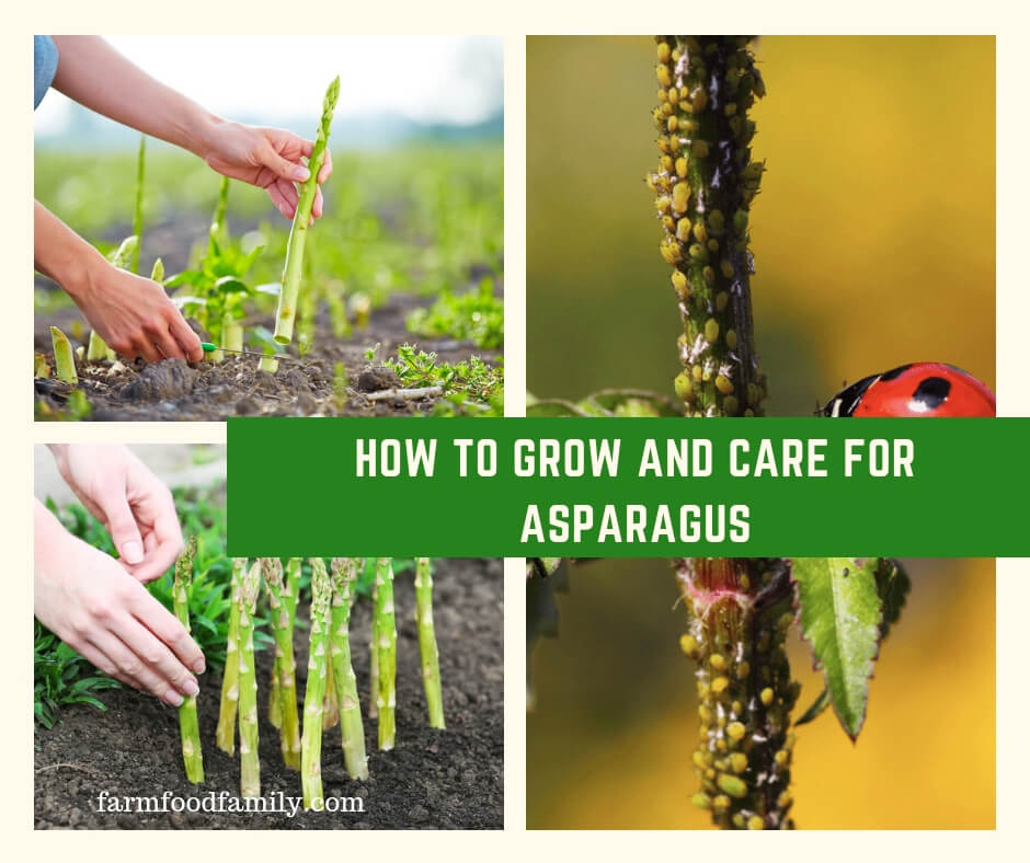 How to Grow and Care for Asparagus