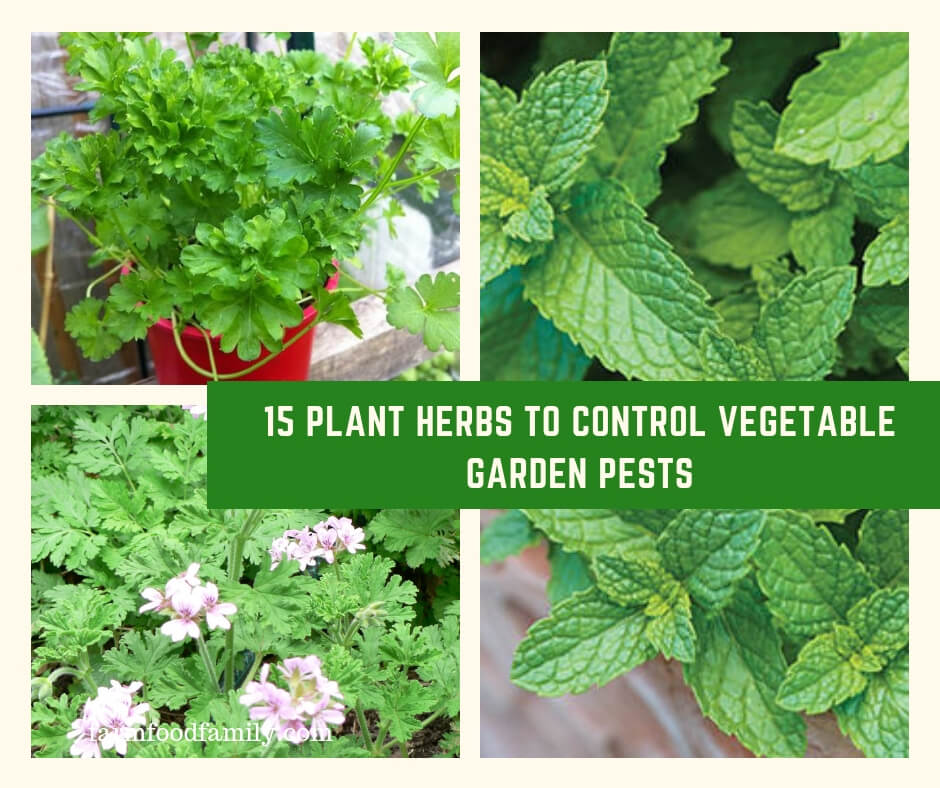 Plant Herbs to Control Vegetable Garden Pests