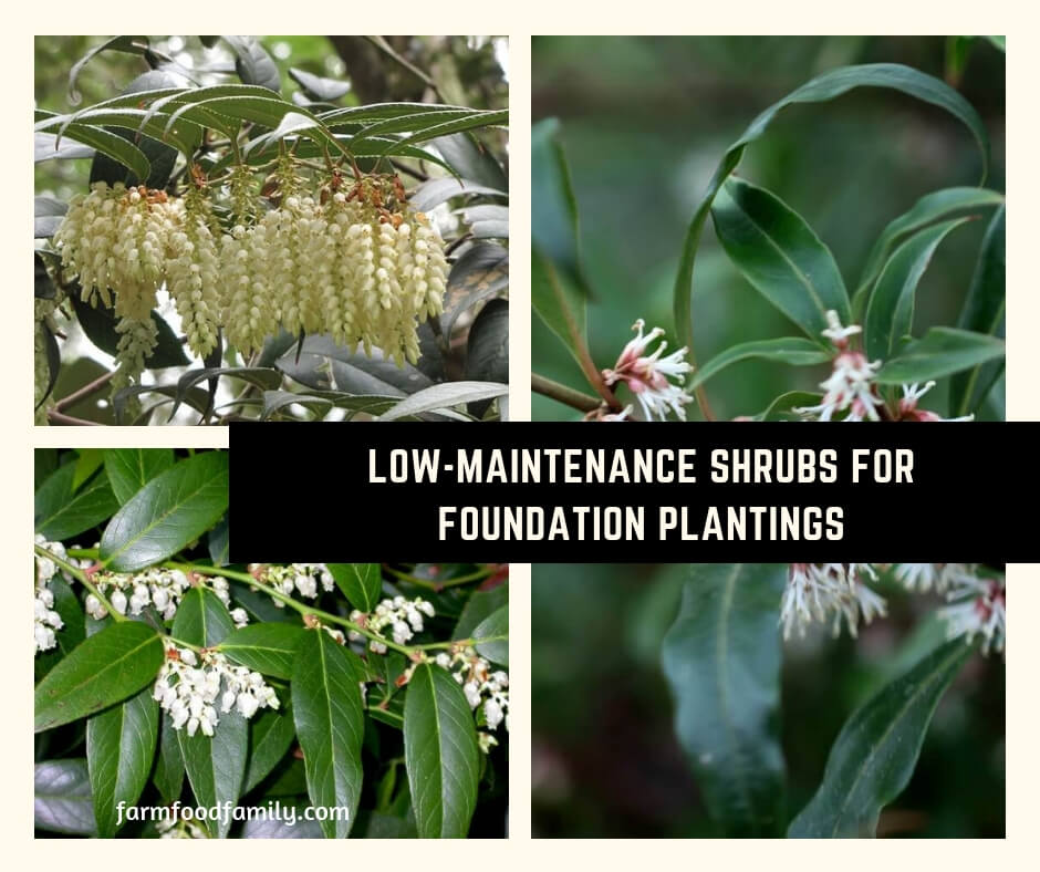 Low-Maintenance Shrubs for Foundation Plantings