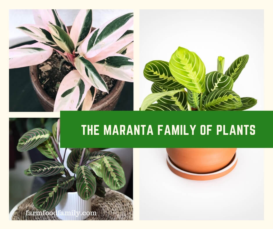 The Maranta Family of Plants