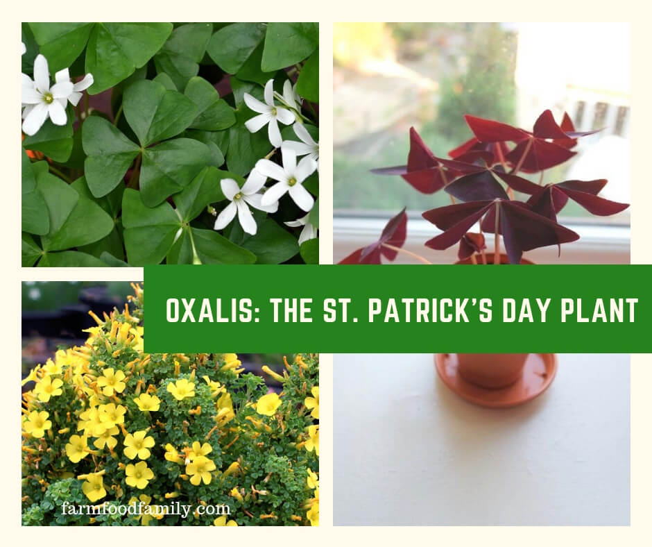Oxalis: The St. Patrick's Day Plant