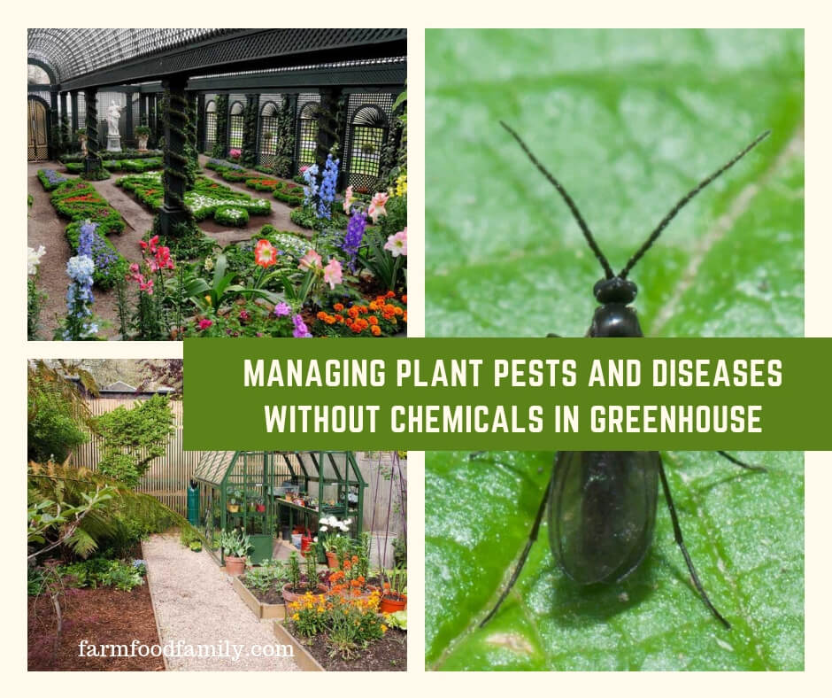 Managing Plant Pests and Diseases Without Chemicals In Greenhouse
