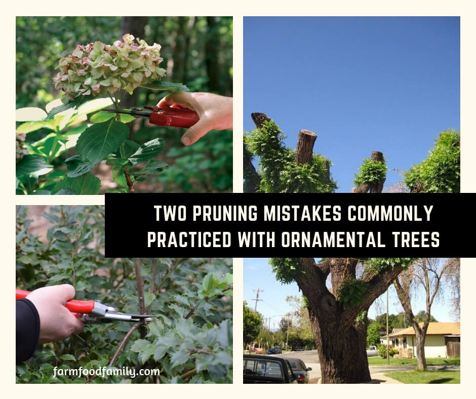 Two Pruning Mistakes Commonly Practiced with Ornamental Trees