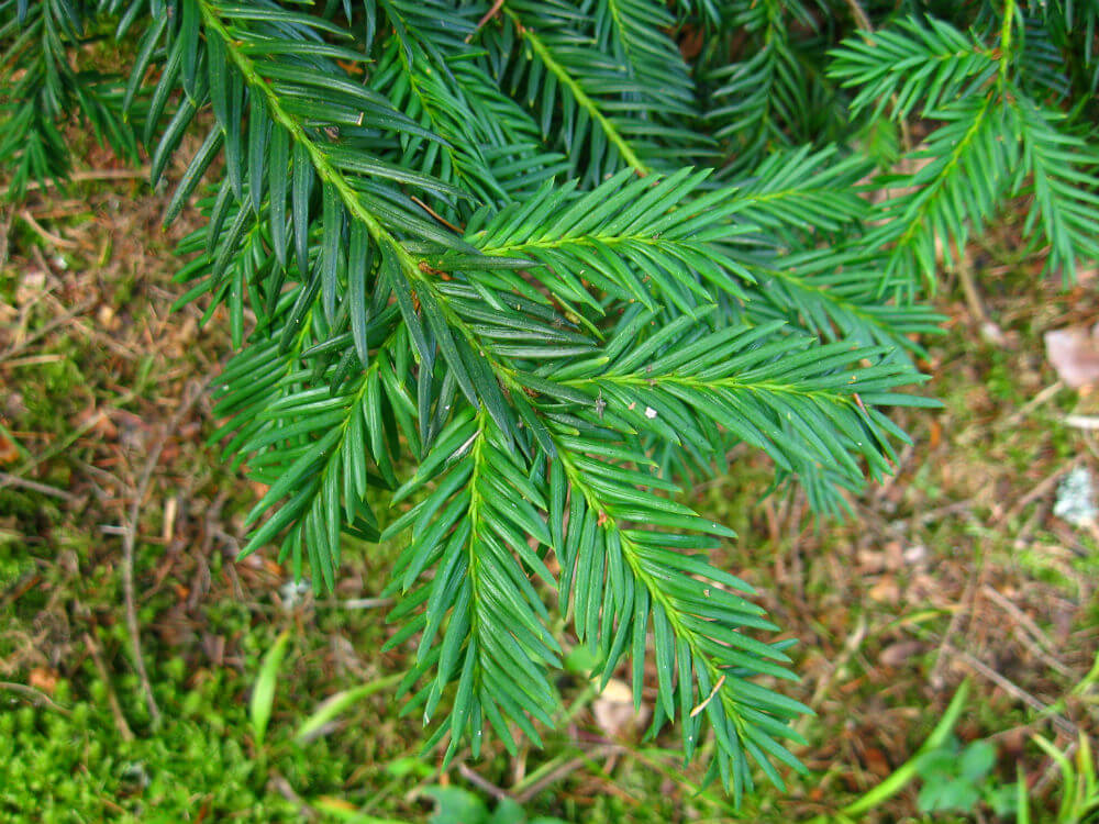Taxus baccata 'Repandens'- Spreading English Yew