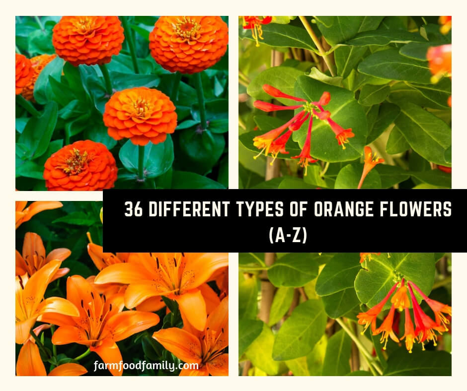 36 Different Types of Orange Flowers (A-Z)