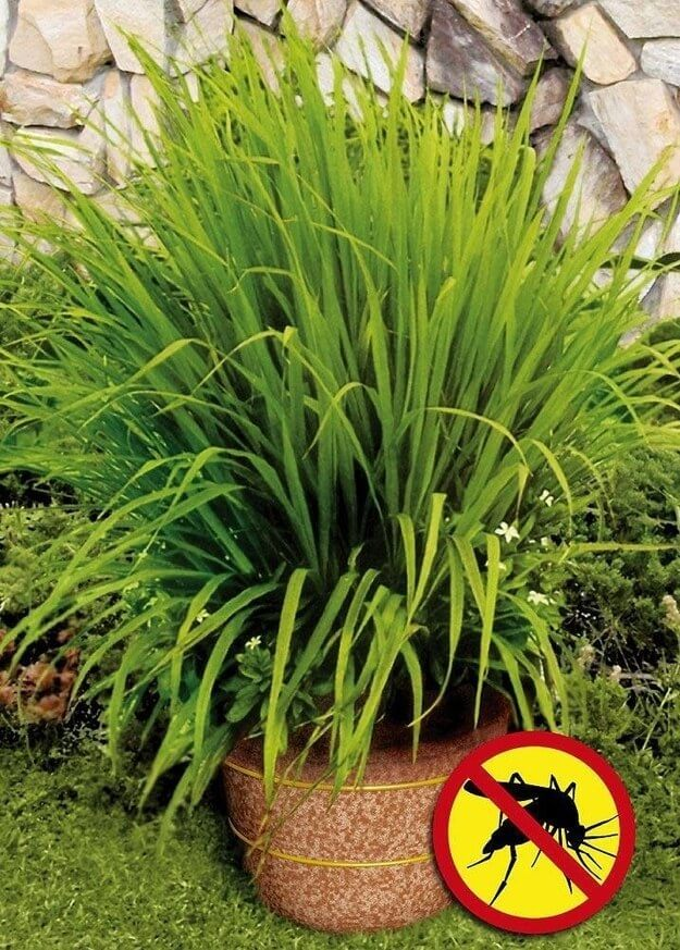 Plant lemongrass as a natural way to keep mosquitoes away | DIY Backyard Projects For Summer | FarmFoodFamily