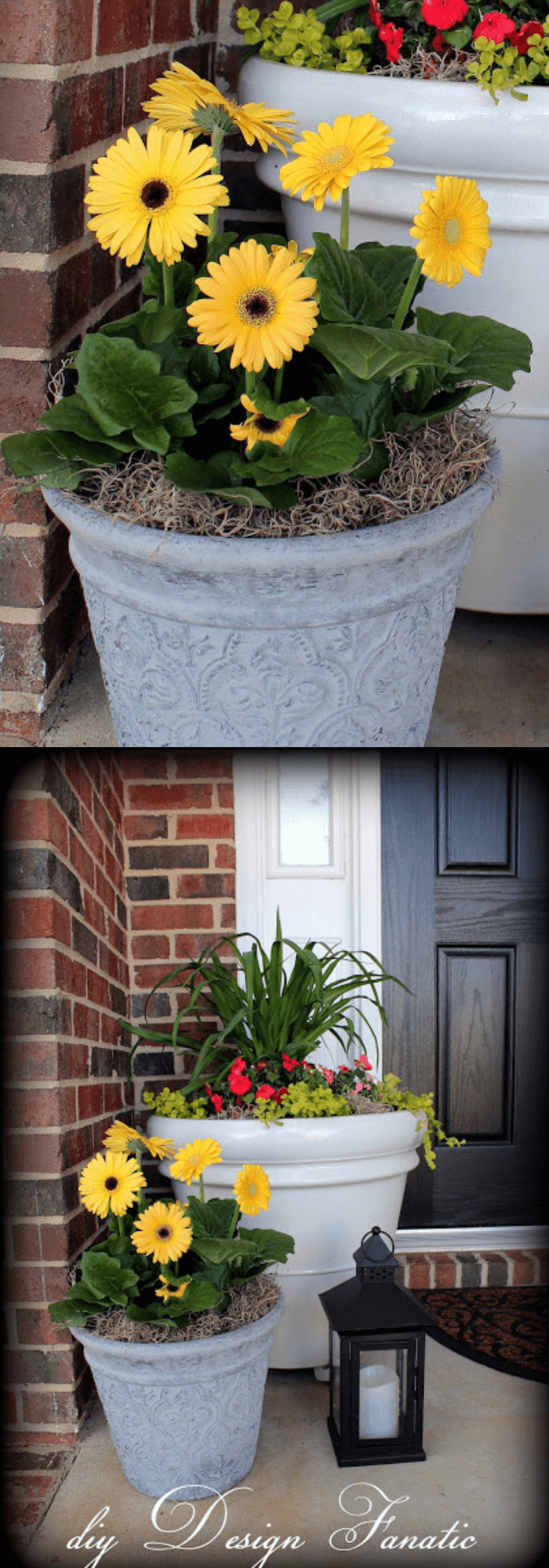 Gray pots with yellow Gerbera Daisies