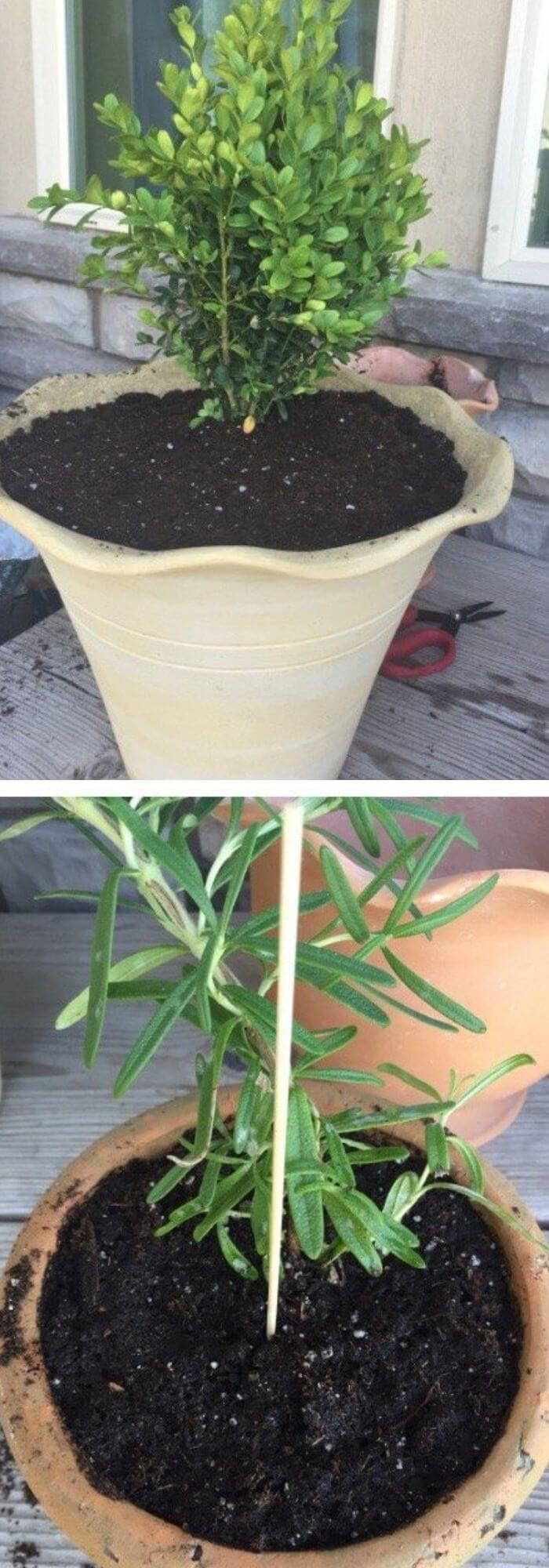 how to make a topiary tree in pot for beginners DIY Living Rosemary and Boxwood Topiary