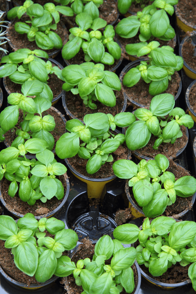 Sweet Basil: 10 Plants That Repel Flies Naturally and Keep the Home Bug-Free